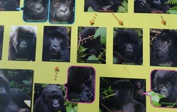 Book Gorilla Permits & Gorilla Groups