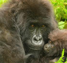 gorilla families bwindi