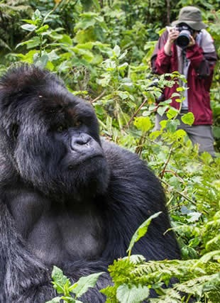 Practical Guide on Gorilla Trekking Rwanda