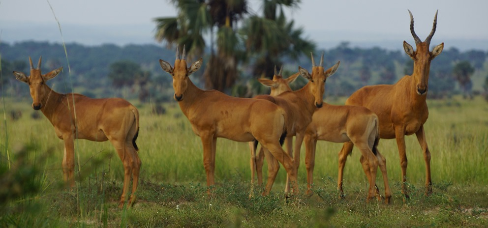 uganda wildlife safari