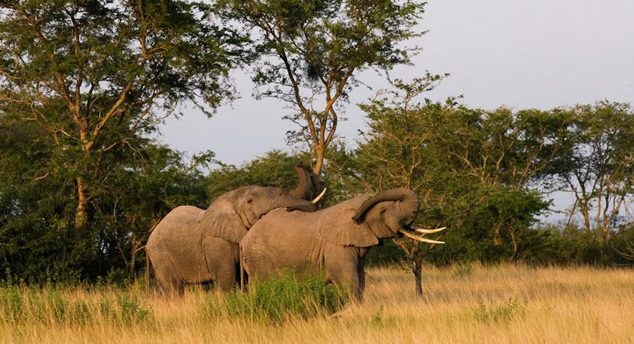 queen Elizabeth elephants - uganda safari