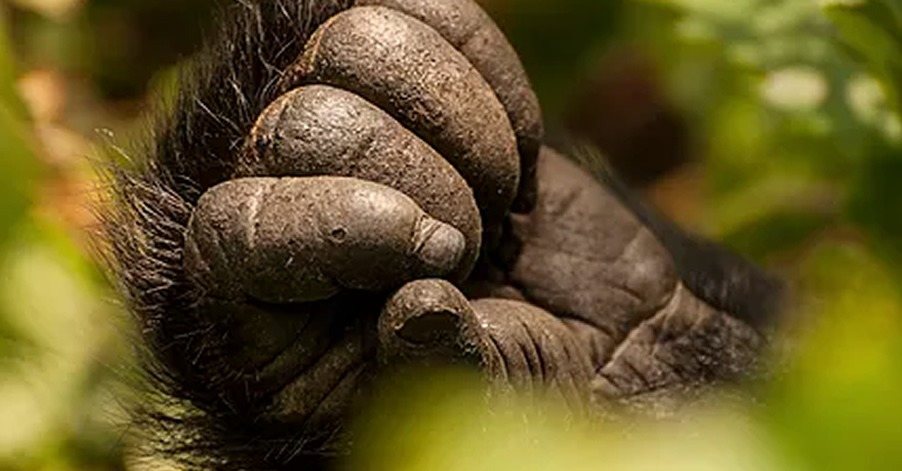 infant gorilla hand