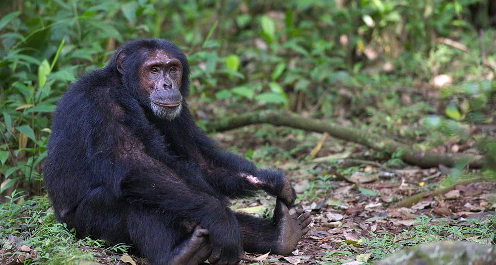 chimpa tracking kibale