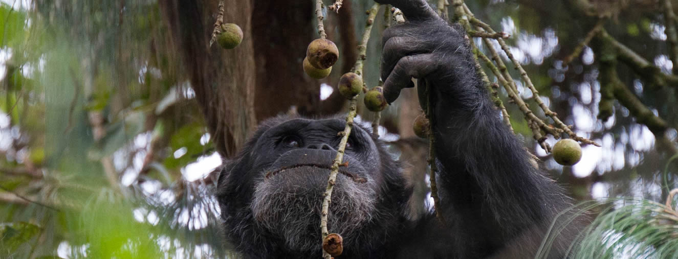 chimpanzee tracking in nyugwe