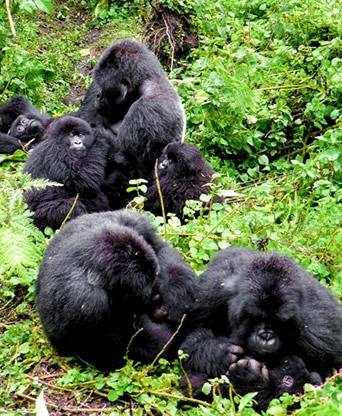 gorilla groups in rwanda