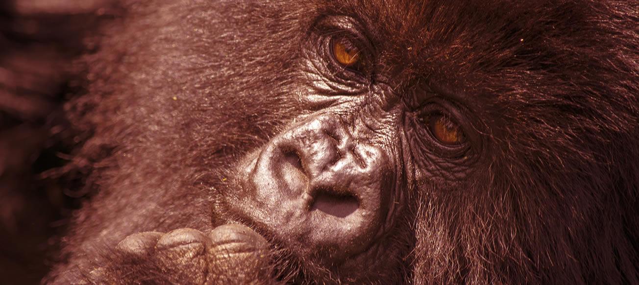silverback-gorilla-tours
