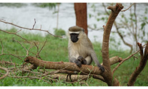 A Vervet Monkey at the source of the Nile