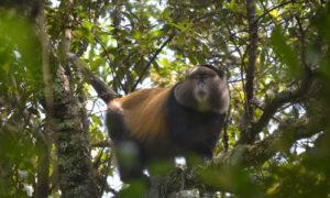 3 Days Rwanda Gorilla Tour and Golden Monkeys
