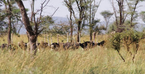 Ostriches in Kidepo Valley National Park