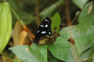 butterfly in semuliki national park