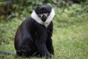 Chimpanzee Tracking in Nyungwe National Park